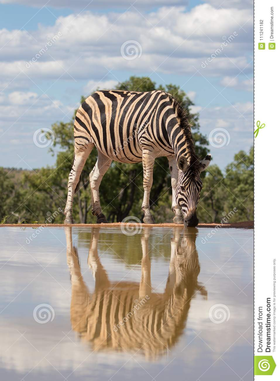 Zebra ( Equus Burchelli) drinking at the water hole with reflection. Welgevonden, South Africa.