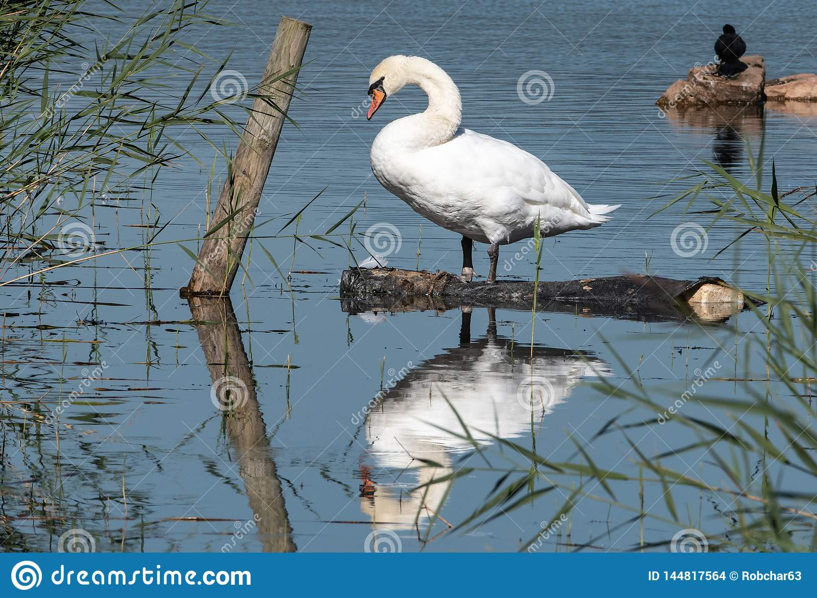 Reflections of a Mute Swan