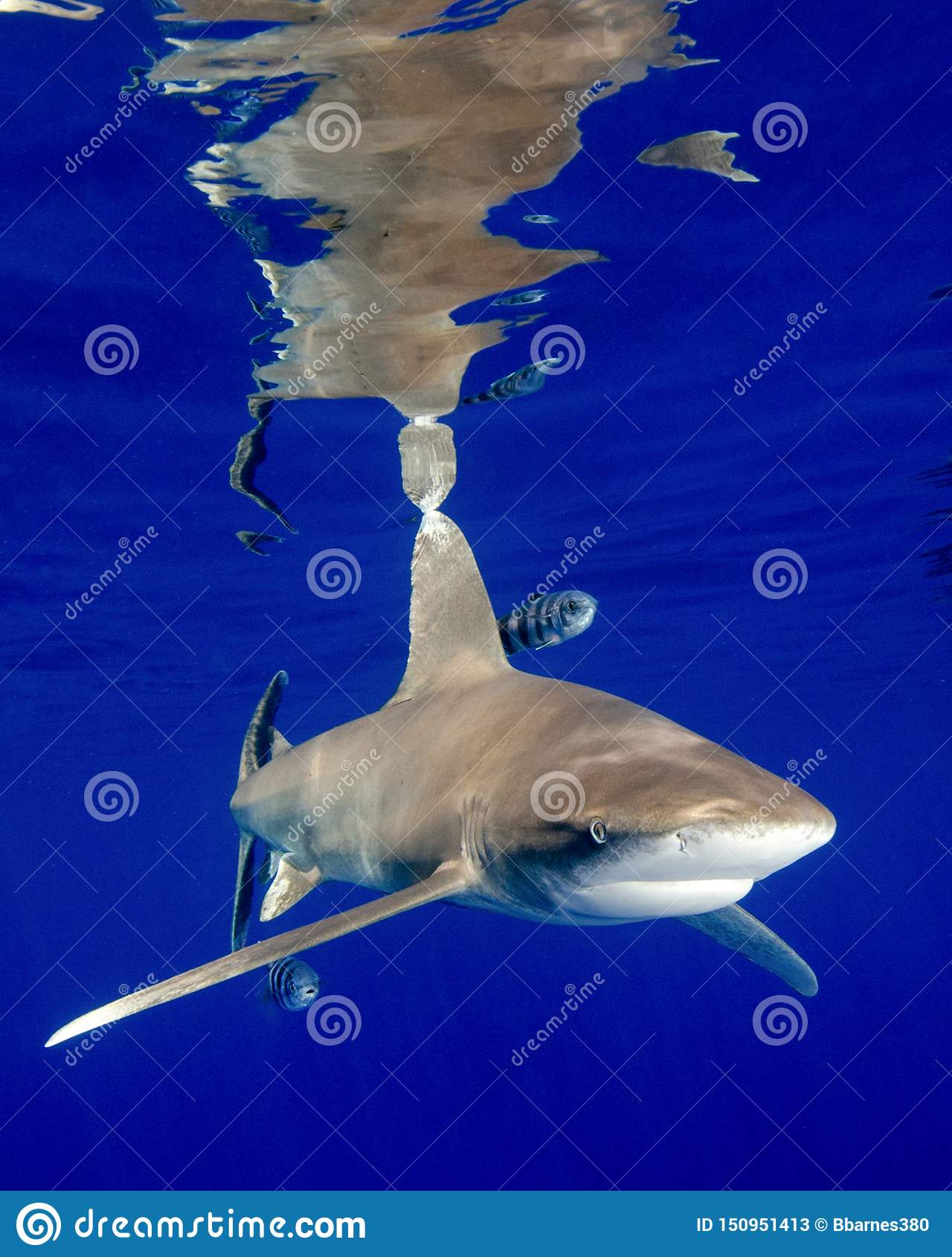 The Reflections of an Oceanic White Tip Shark in the Bahamas