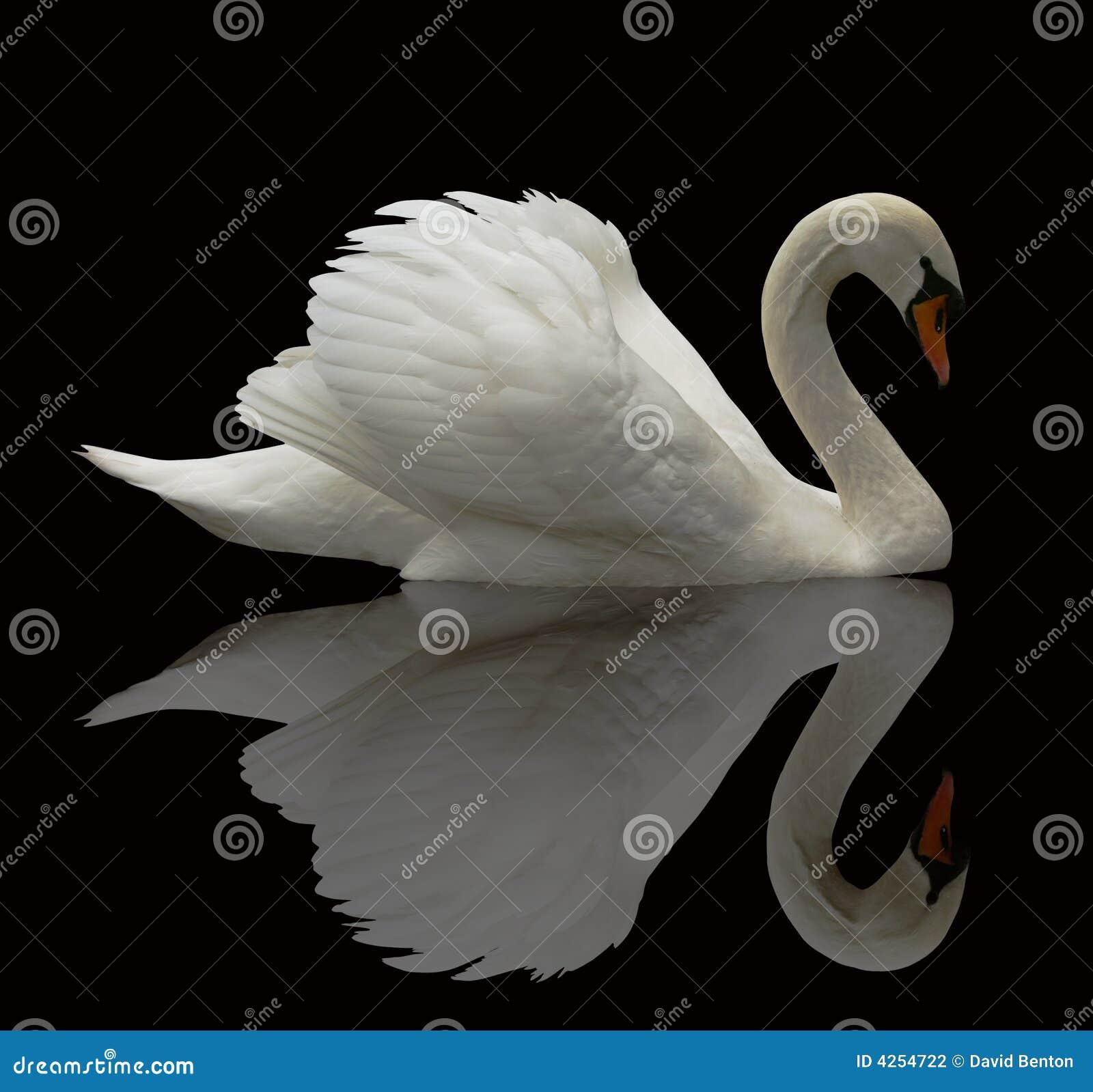 Reflekterad swan