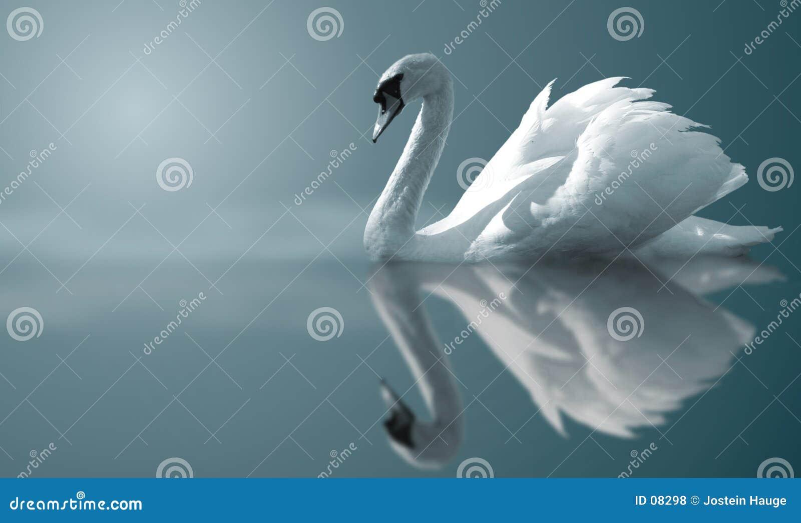 Reflexões da cisne