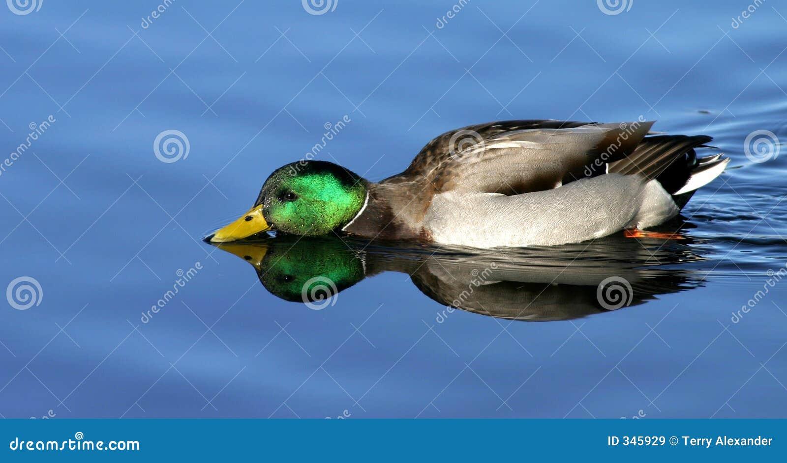 Reflexiones del pato