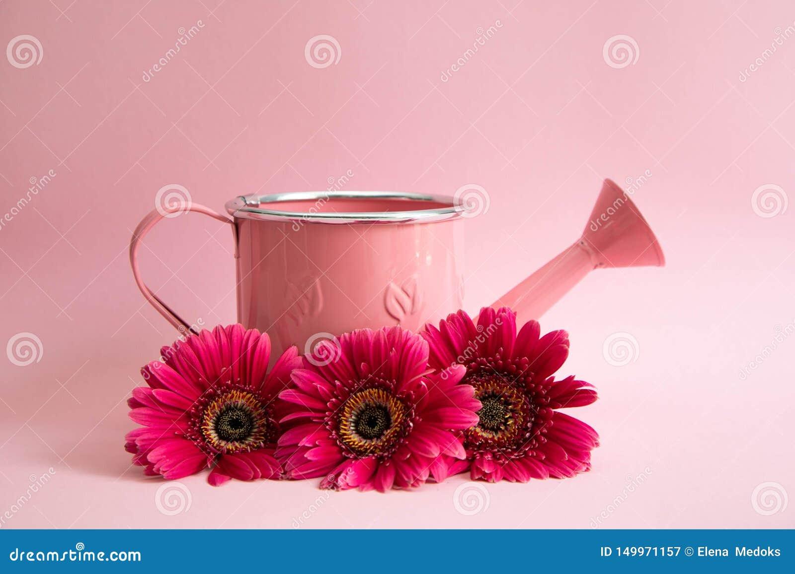 Regadera rosada vacía con tres flores de gerberas rojos Al lado de la regadera son tres margaritas carmesís en un rosa