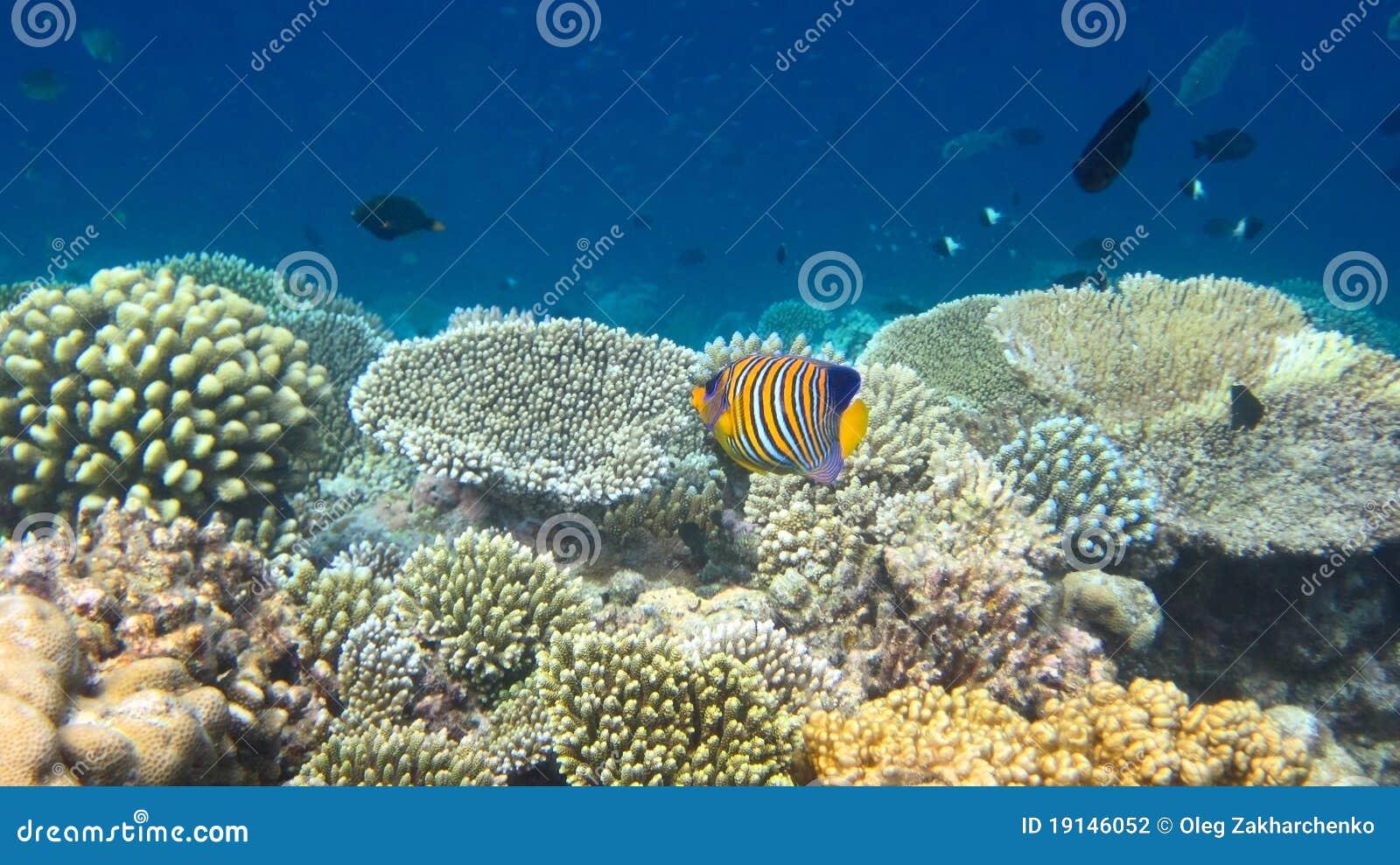 Regal Angelfish Regal angelfish