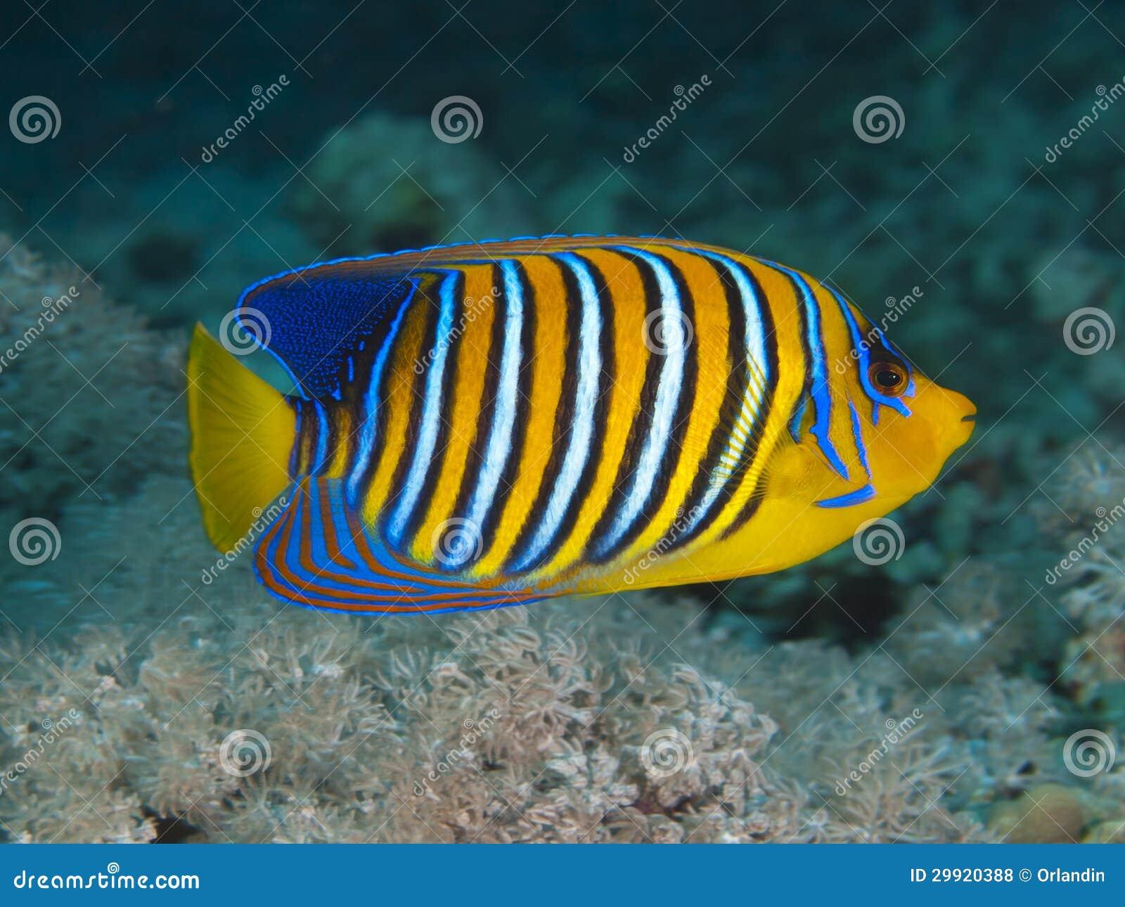 Regal Angelfish Regal angelfish in red sea. mr: no; pr: no