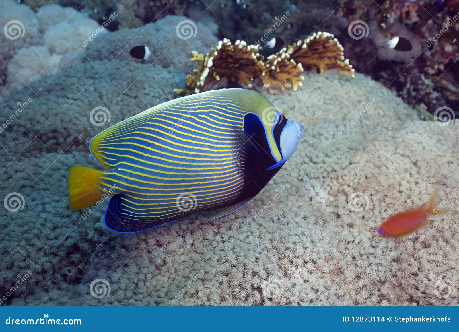 Regal havsängel