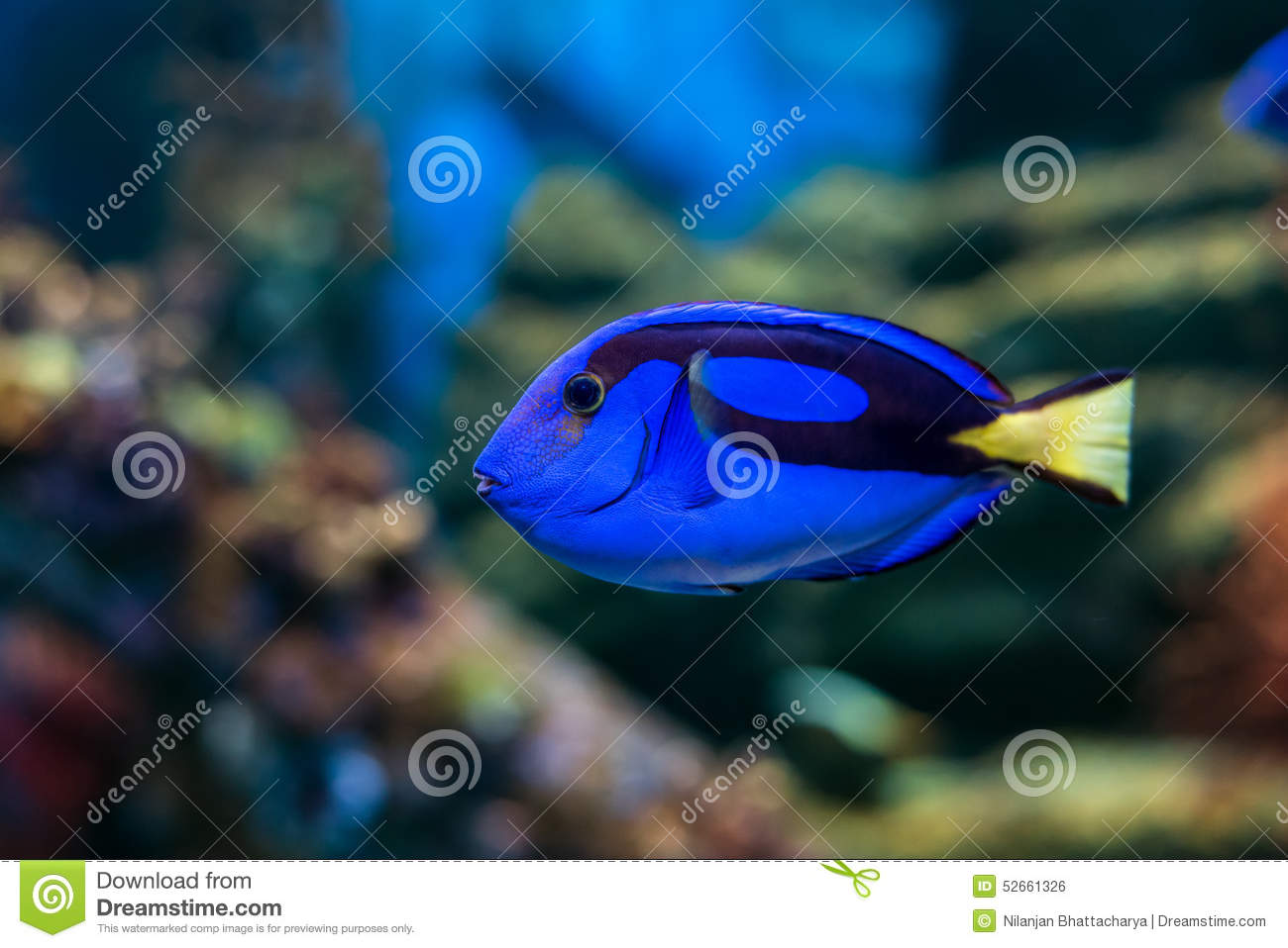 Regal tang fish stock photo image 52661326 for Blue tang fish price