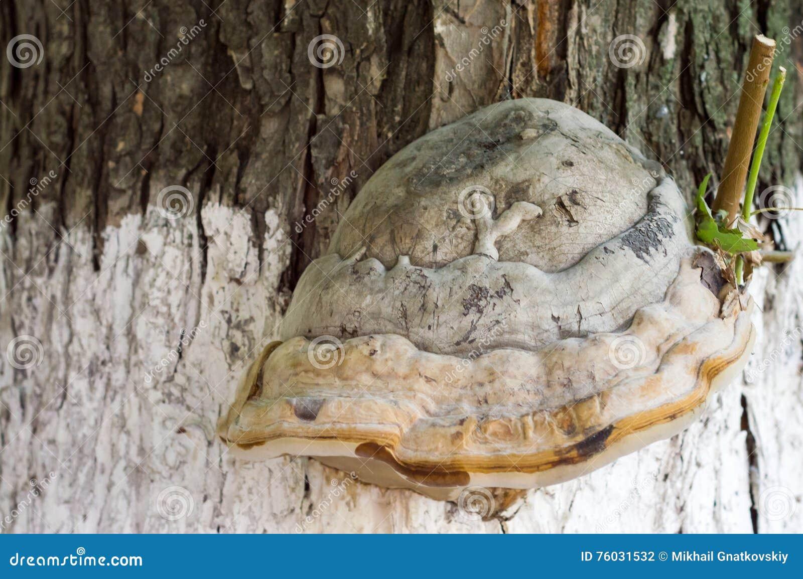 regalpilz auf baumstamm stockfoto. bild von kräuter, forstwirtschaft