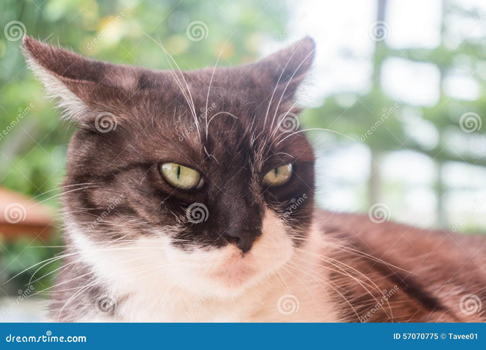 Chat Furieux regard adulte de chat furieux avec la lumière de nature image stock