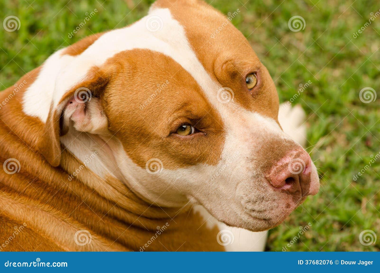 Regard de chien de pitbull
