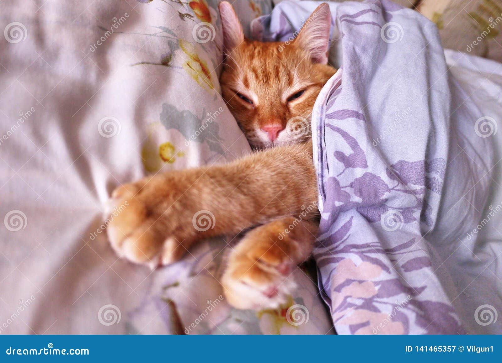 Regard de Sly un gingembre a Chat rouge dormant en position confortable sur le lit