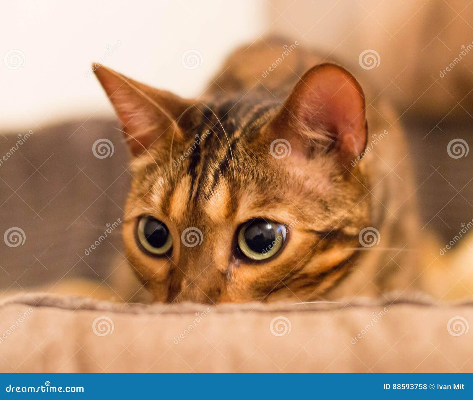 Regard fixe attentif de chat