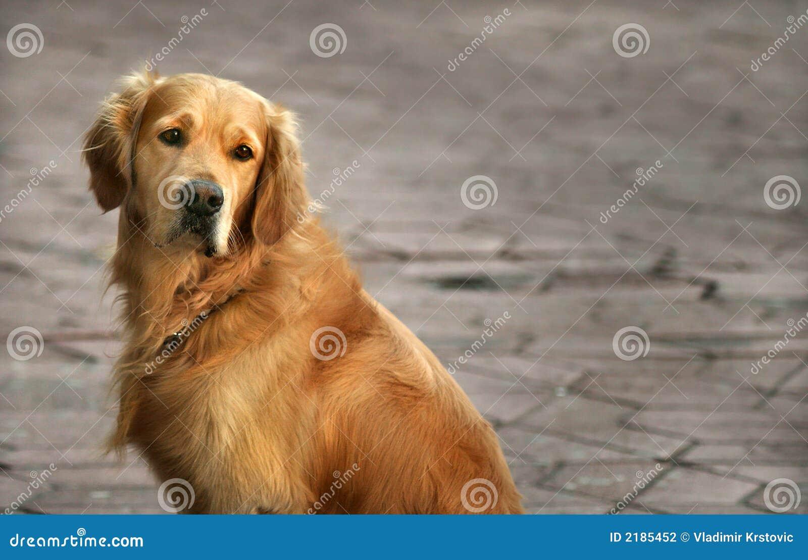 Regard fixe chien d arrêt-éloigné d or