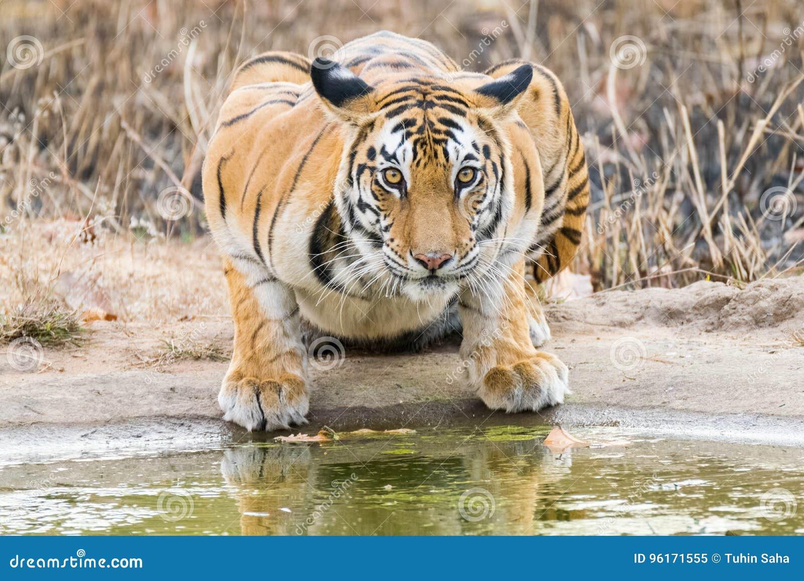 Regard fixe de tigresse