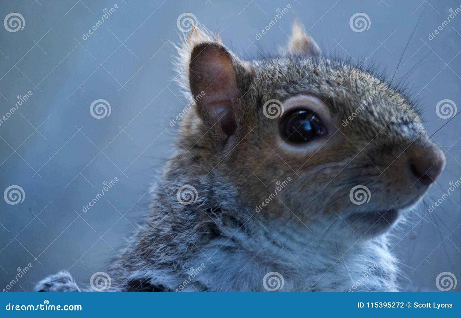 Regard haut étroit d écureuil droit