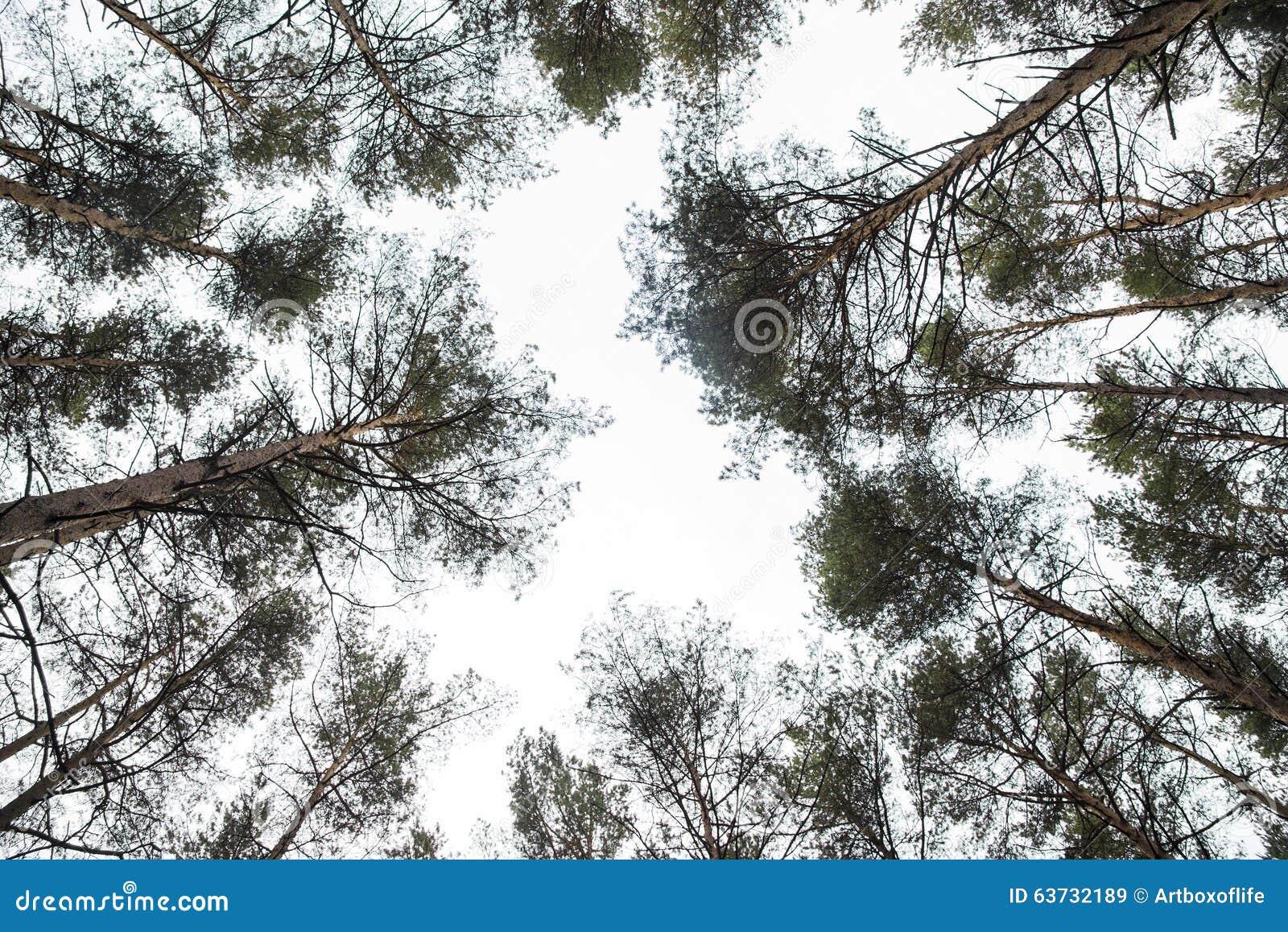 regard vers le ciel jusquaux dessus darbre images libres de droits - Arbre Ciel