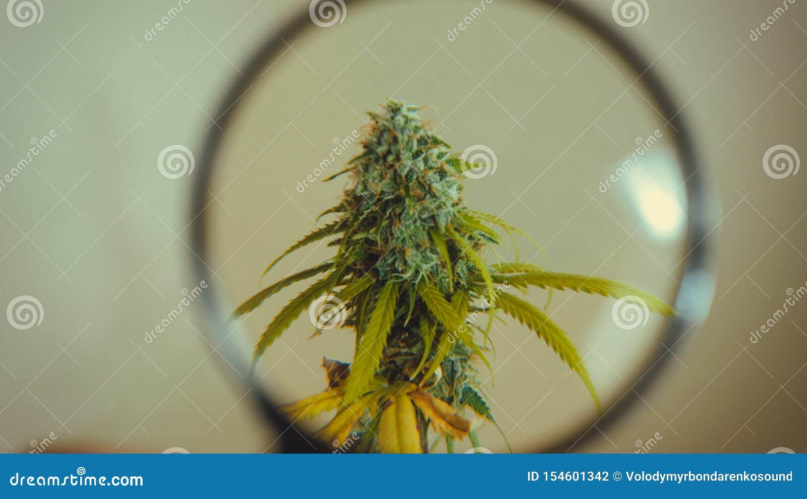 Regardez les bourgeons médicaux de marijuana avec la loupe Récolte fraîche d usine de cannabis s élevant à l intérieur