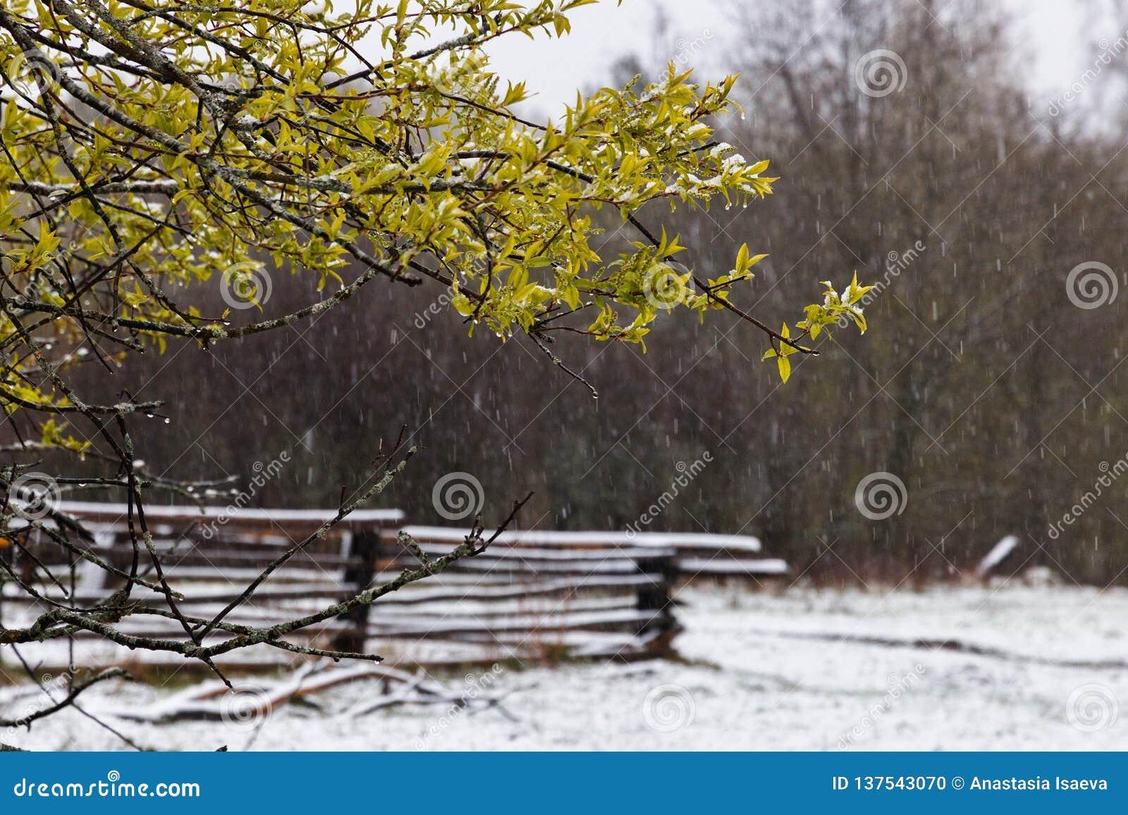 Regenachtige sneeuw en vogelboombloesem in de lente