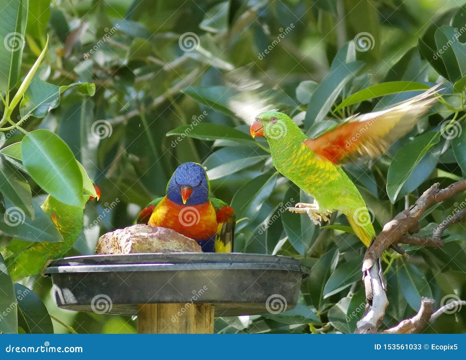 Regenbogen lorikeet linkes und scaley-breasted lorikeet Recht, Fliegen