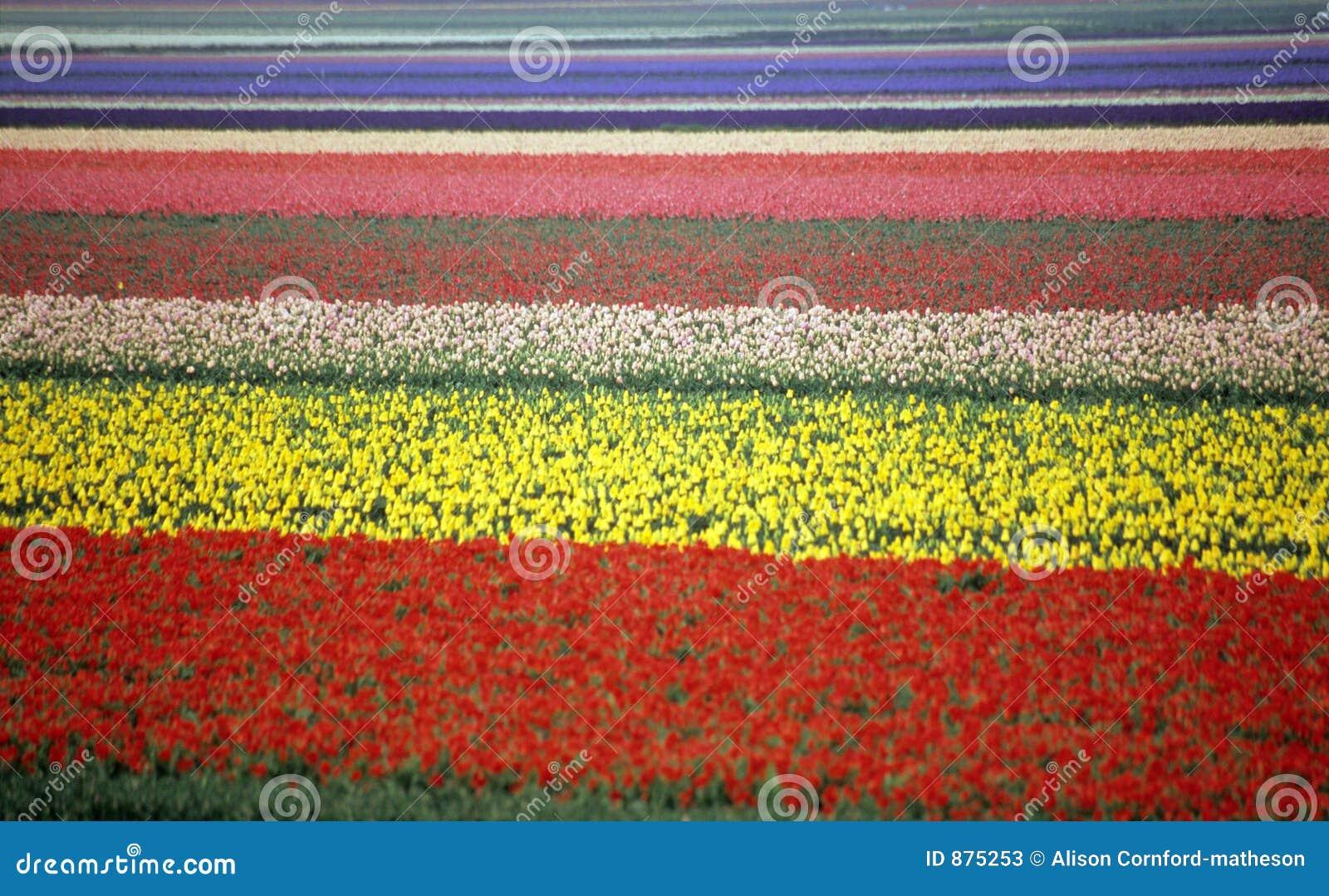 Regenbogen-Tulpe-Feld