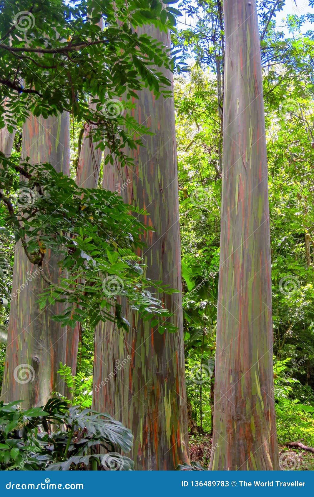 Regenbogeneukalyptus Eukalyptus deglupta mit bunter Barke, Maui, Hawaii