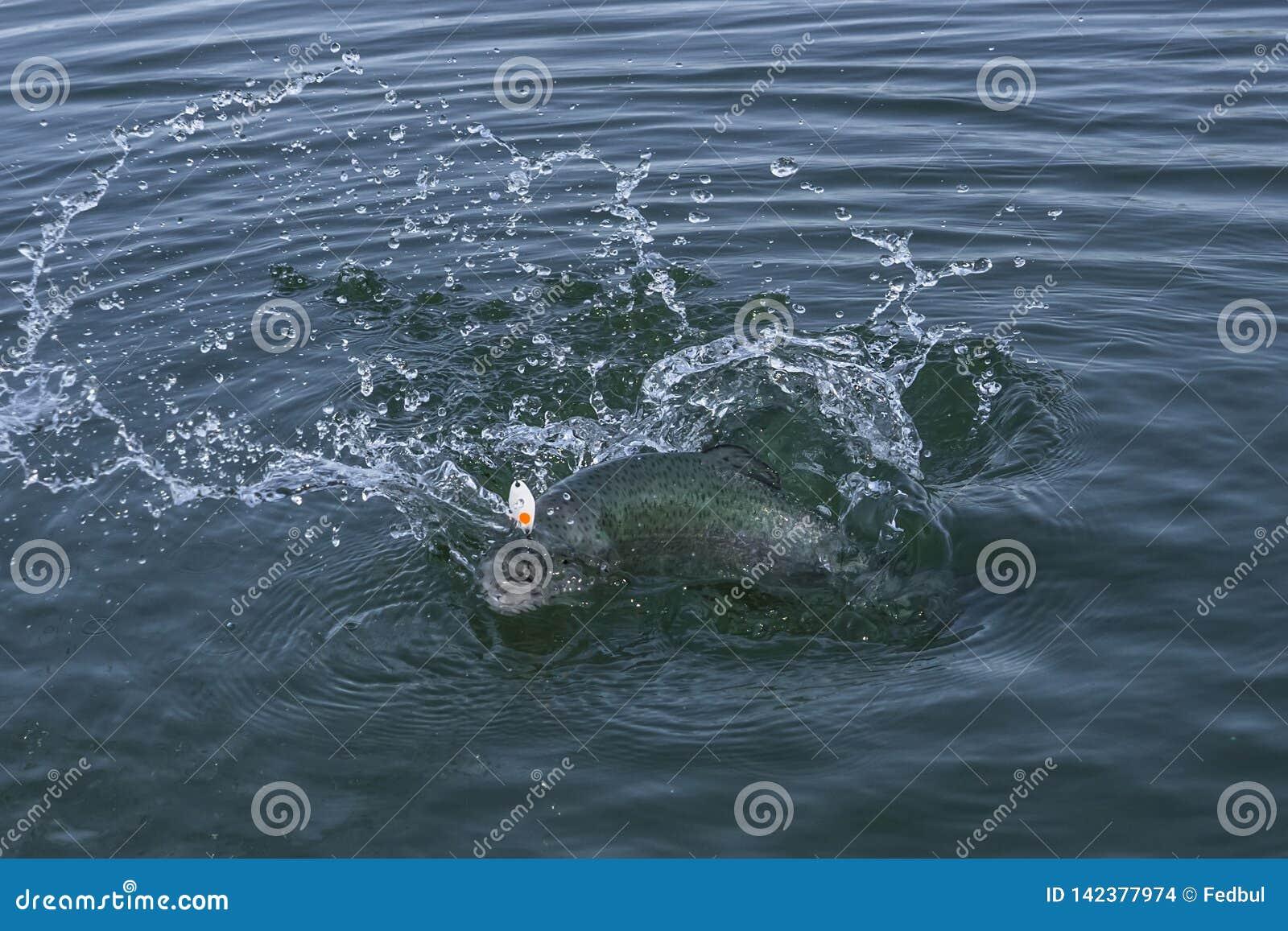 Regenbogenforelle-Lachsfische im Wasser mit dem Spritzen Bereichsfischen