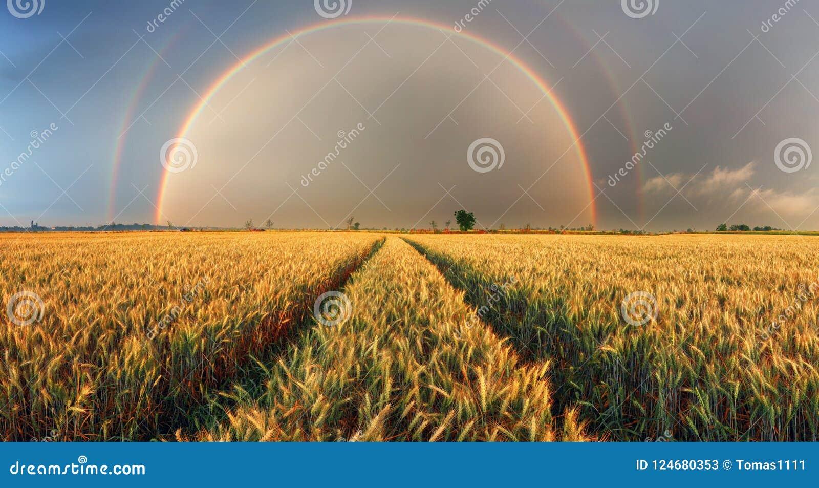 Regenboog over tarwegebied, panorama