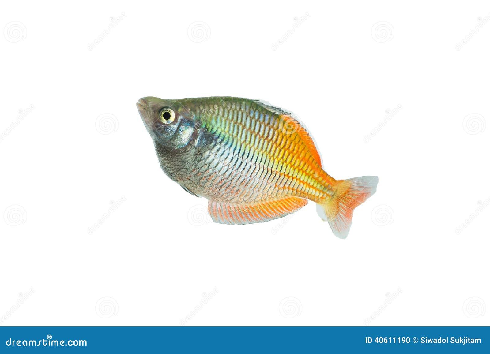 Regenboogvissen