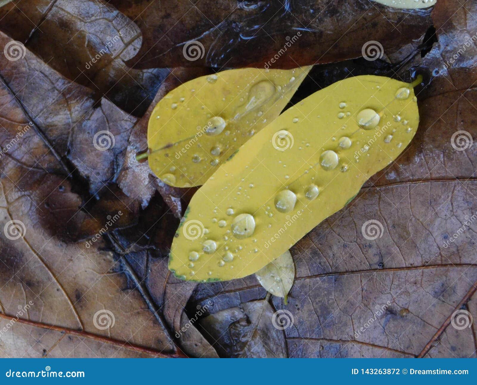 Regentropfen auf grünen Blättern über nass braunen Blättern