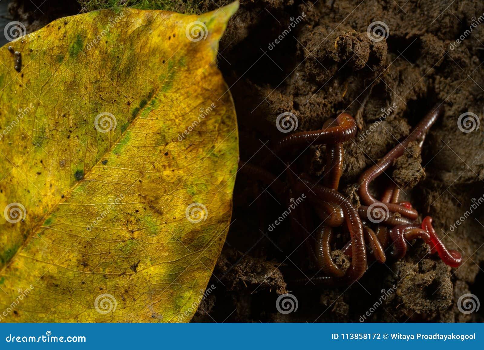 Regenwürmer im Boden mit trockenen Blättern