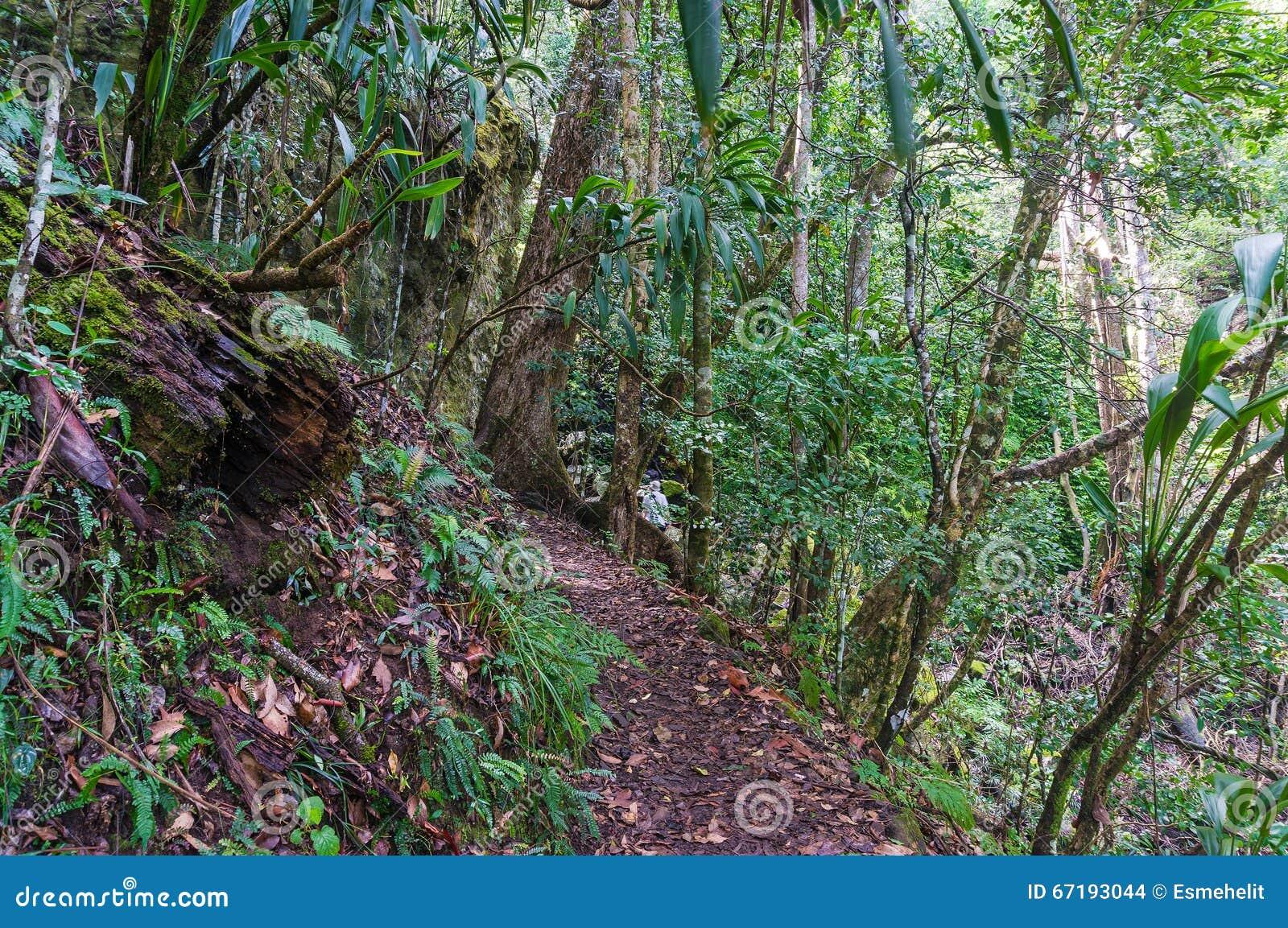 regenwaldweg wandern im tropischen regenwald stockfoto bild 67193044. Black Bedroom Furniture Sets. Home Design Ideas