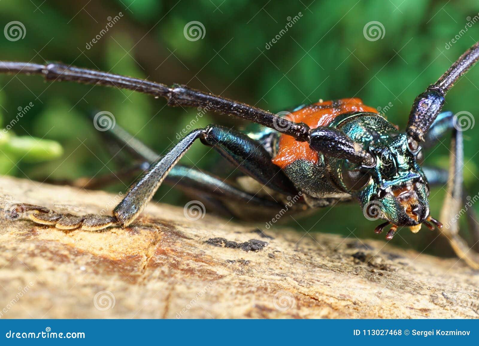 Región anterior macra de barbilla caucásica del escarabajo del cuerpo