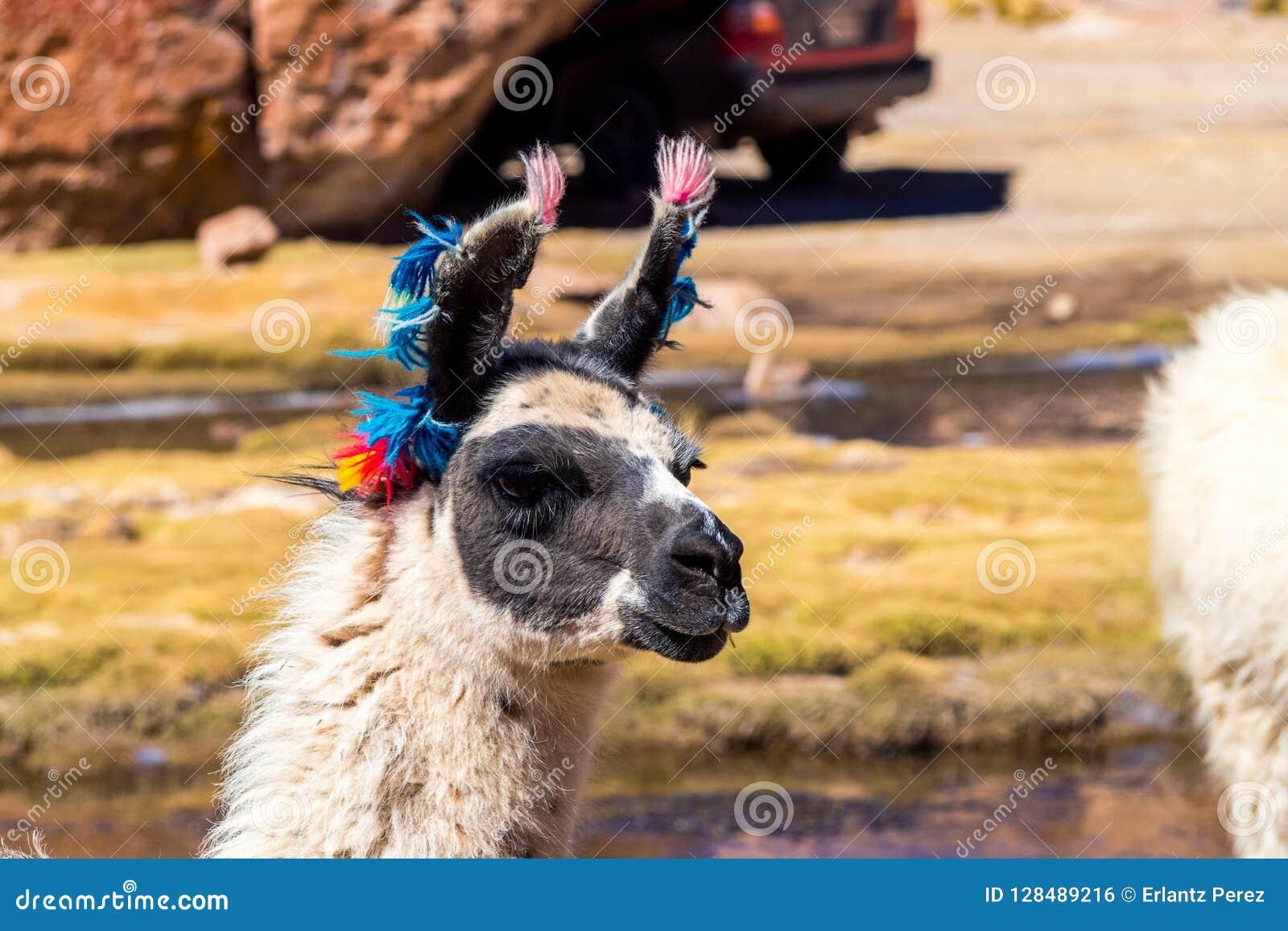 Región de Bolivia, los Andes, llama, primer del lama