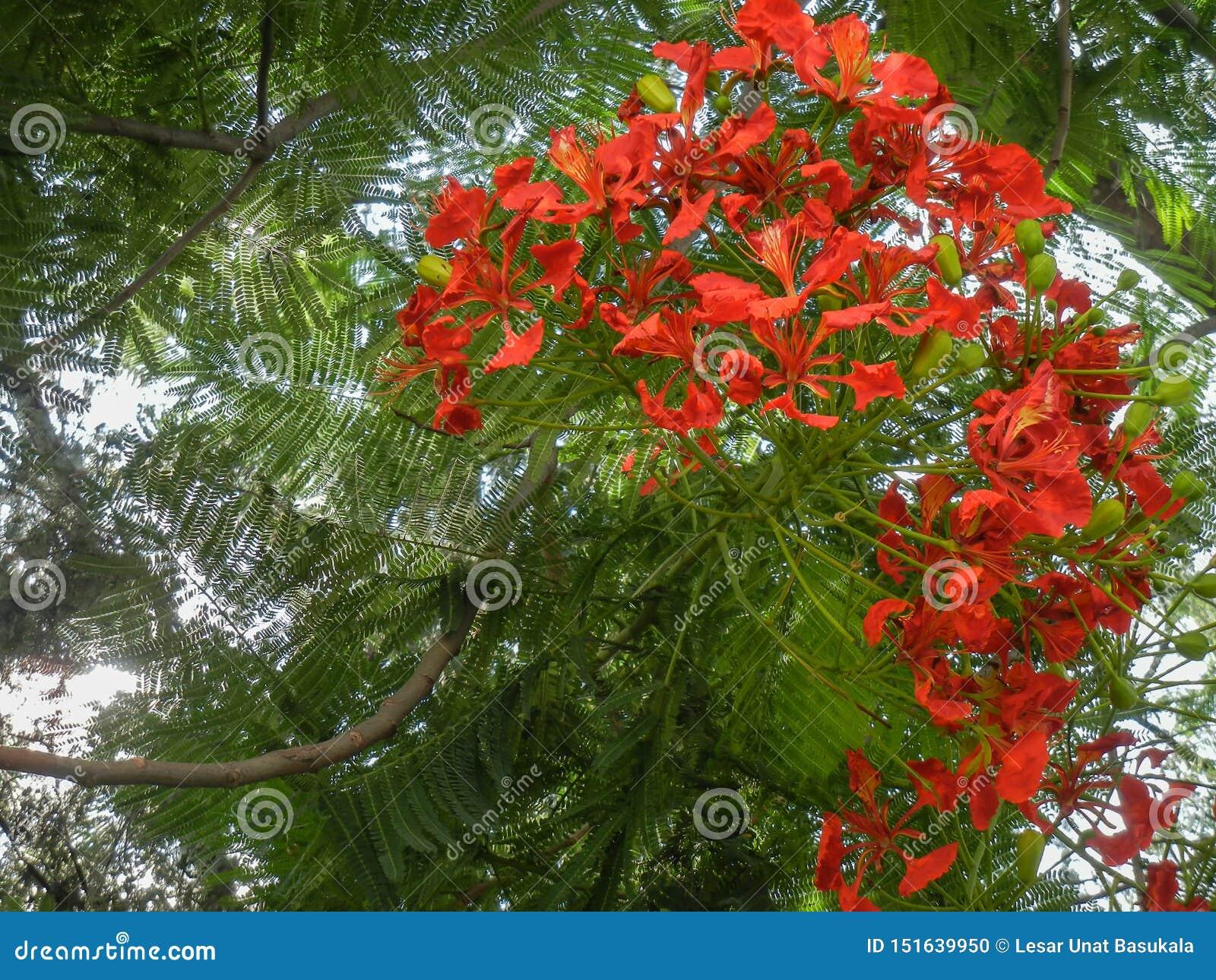 Regia Delonix цветковое растение, который выросли летом с оранжевым красным poinciana цветков королевским, с плодом