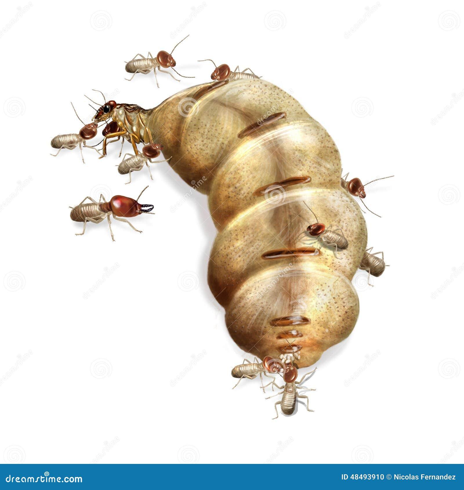 Regina della termite