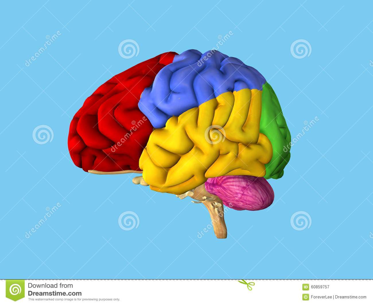 Regions Of The Brain Stock Illustration Illustration Of Human