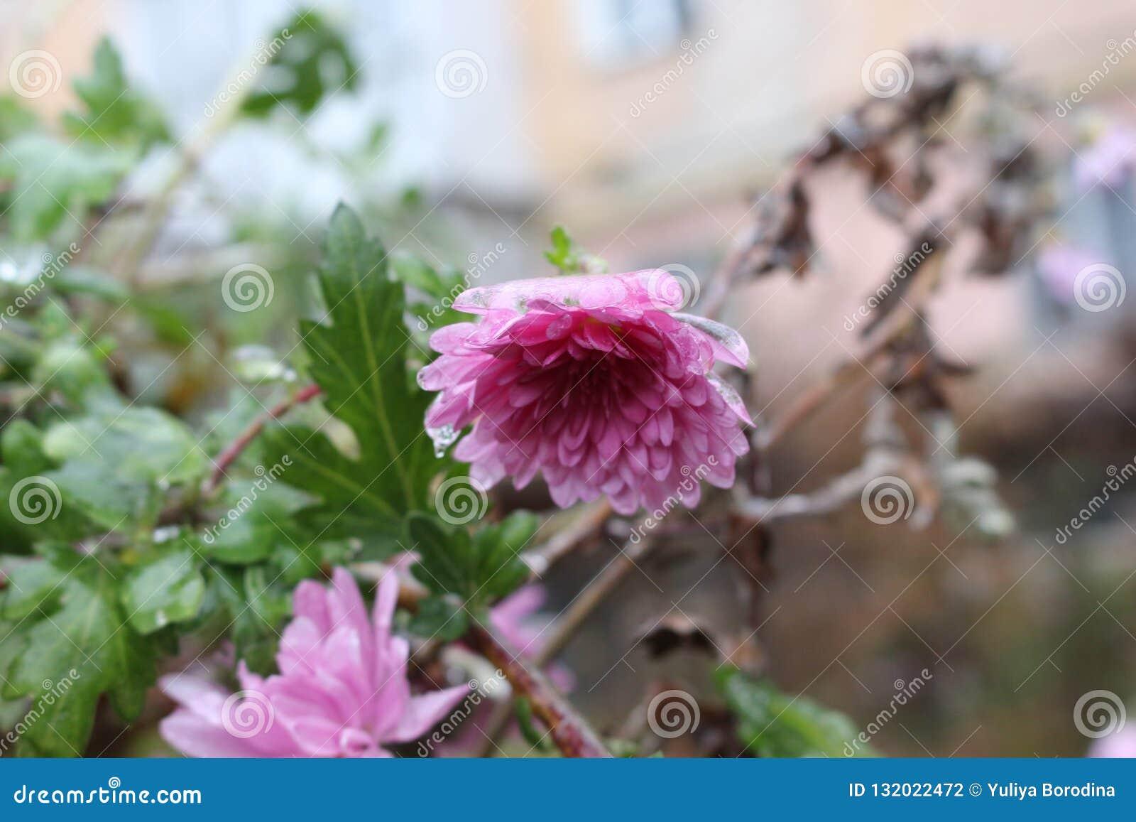 Regndroppar fryste på blommorna