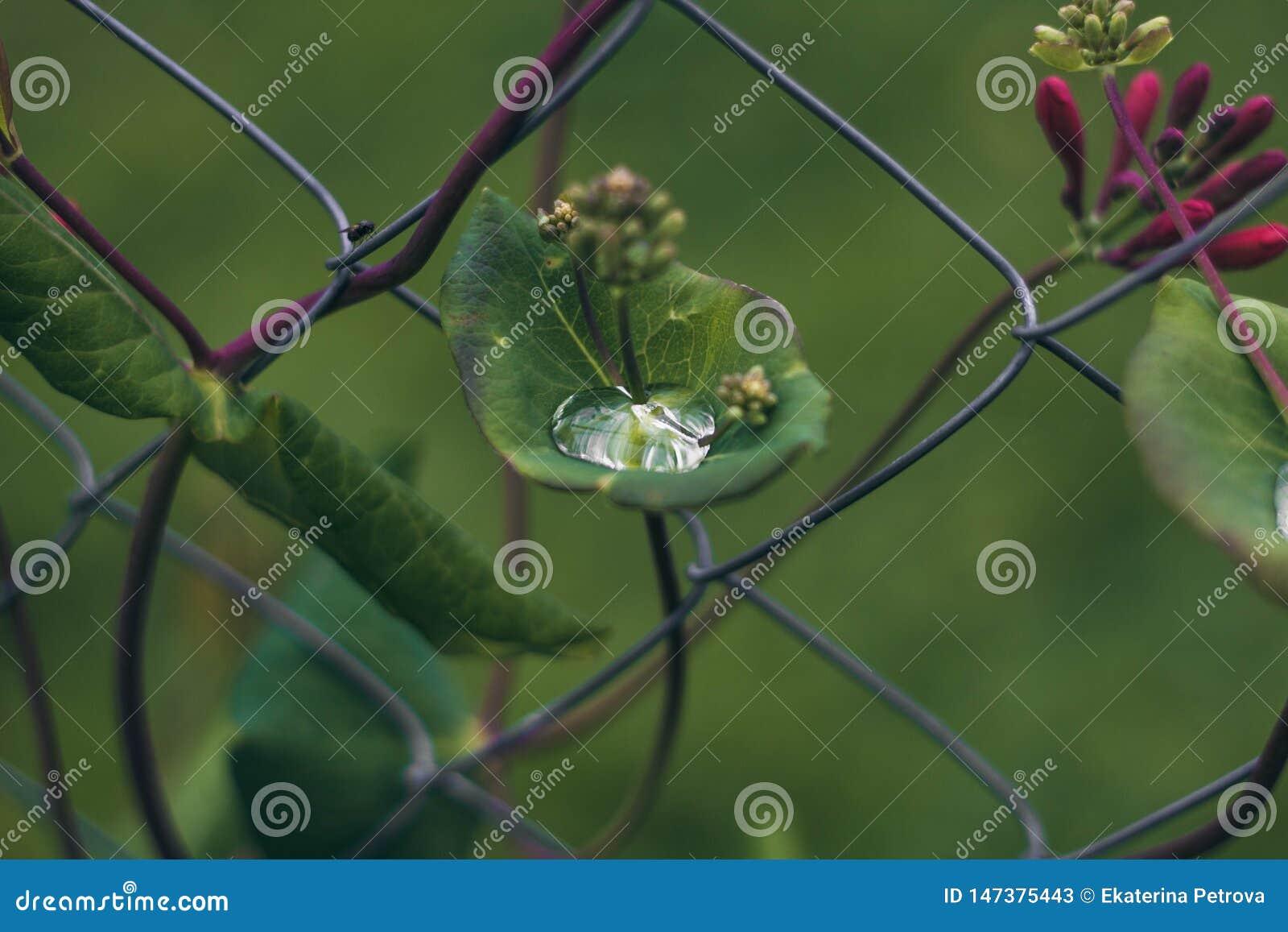 Regndroppe på ett grönt blad av en blomma på bakgrunden av staket-rastret En droppe av dagg i den gröna lövverket Blomma