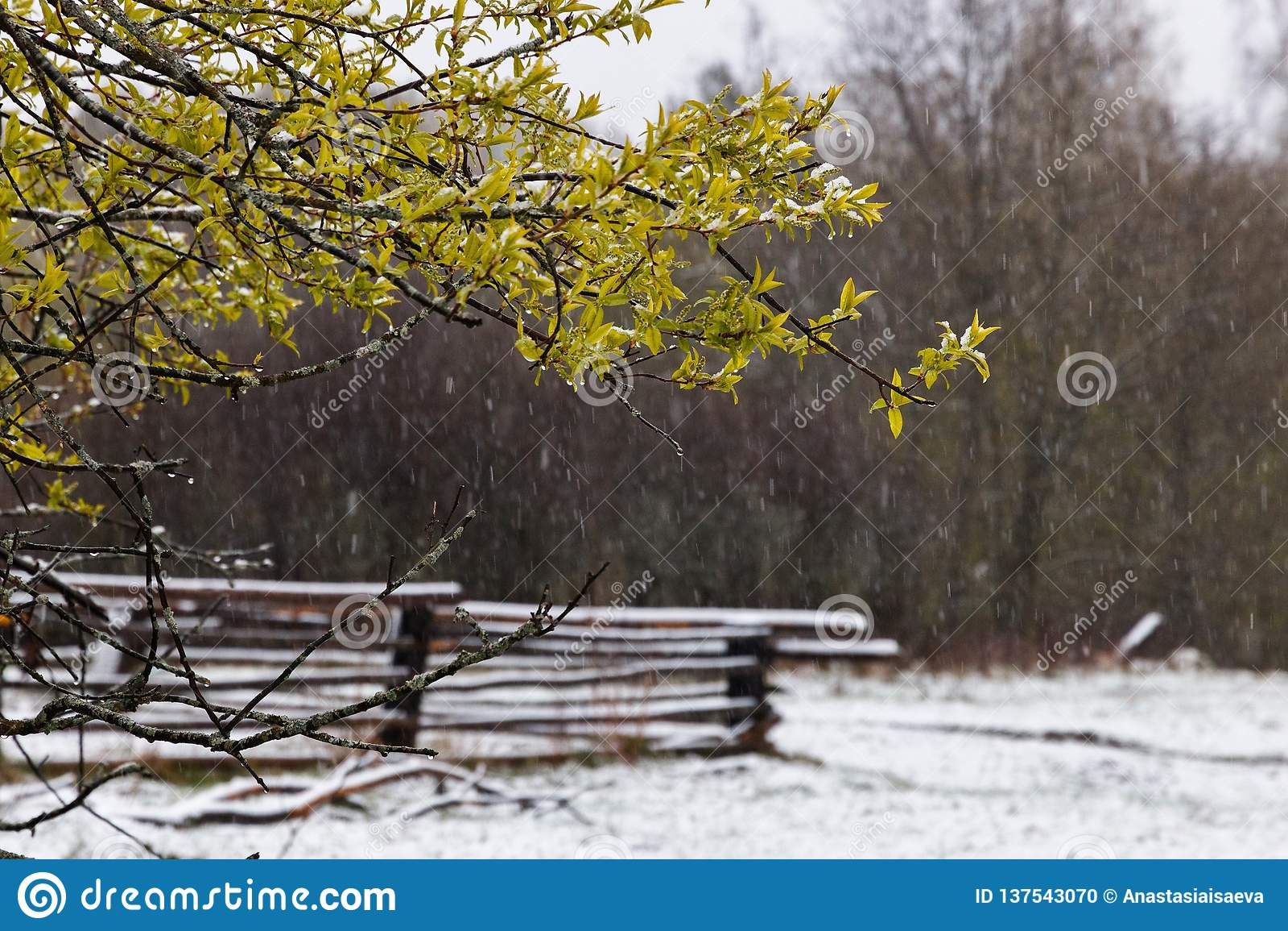 Regnerische Schnee- und Vogelbaumblüte im Frühjahr