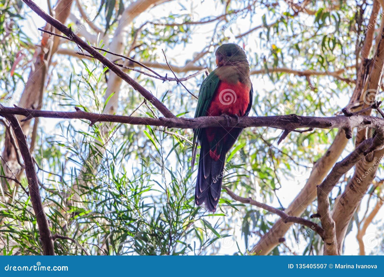 Rei australiano Parrot que senta-se em uma árvore de eucalipto