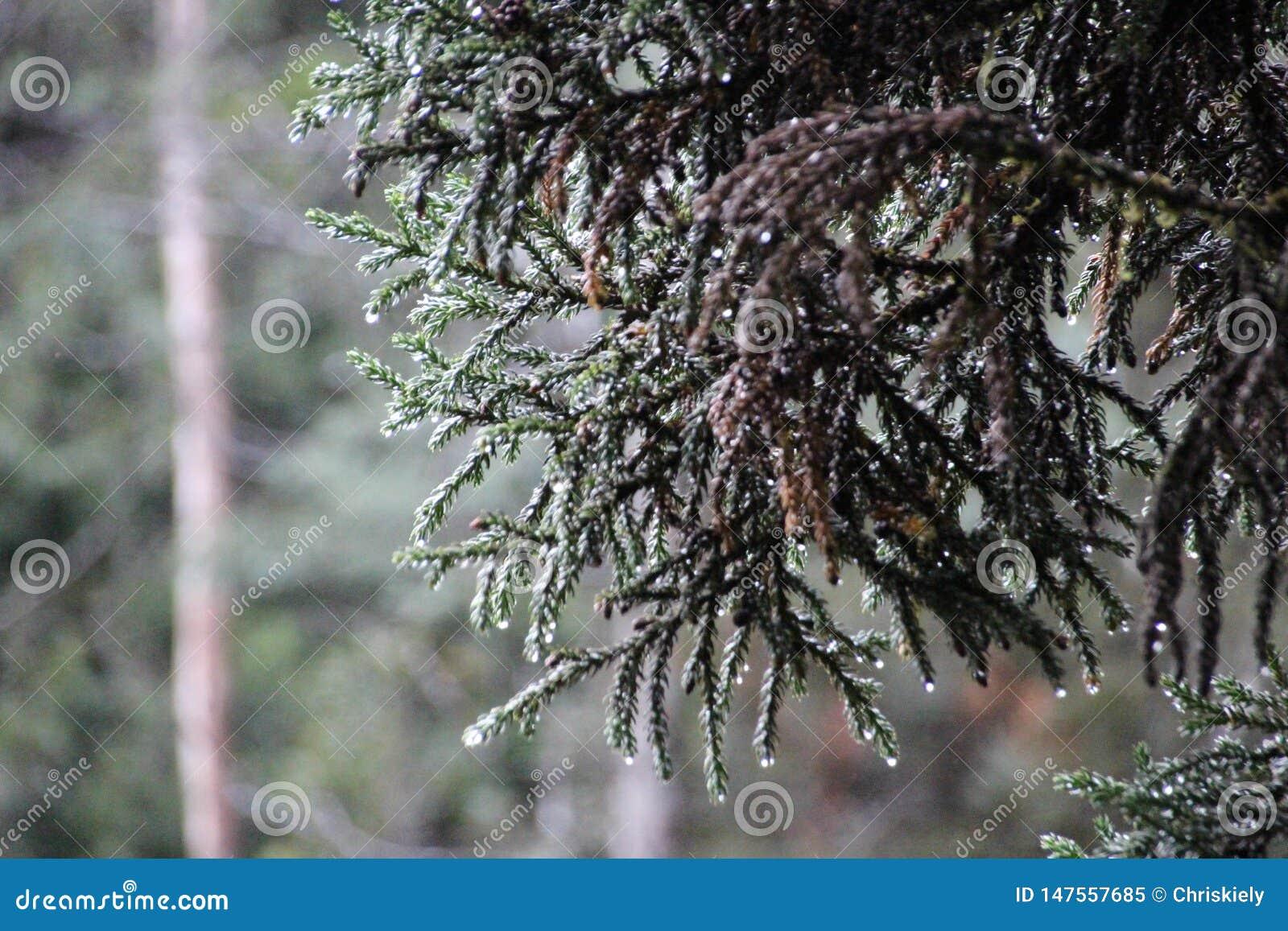 Rei Billy Pine Tree