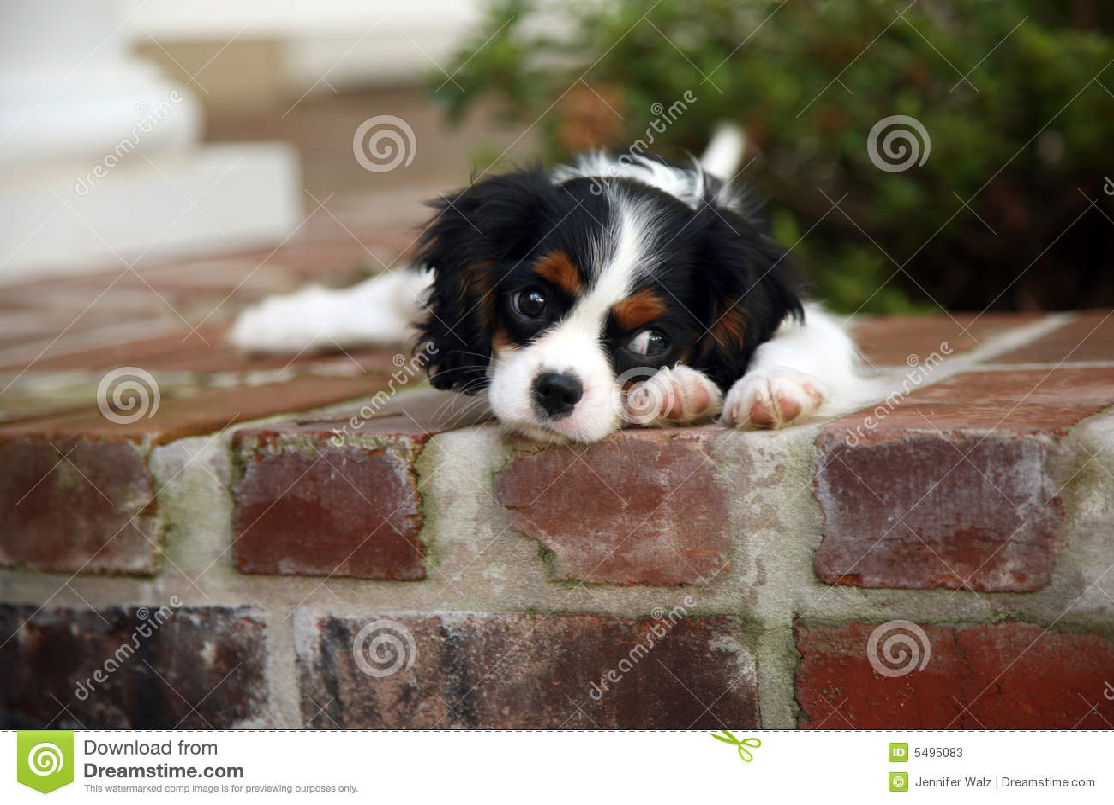 Rei Charles Cavalier Filhote de cachorro