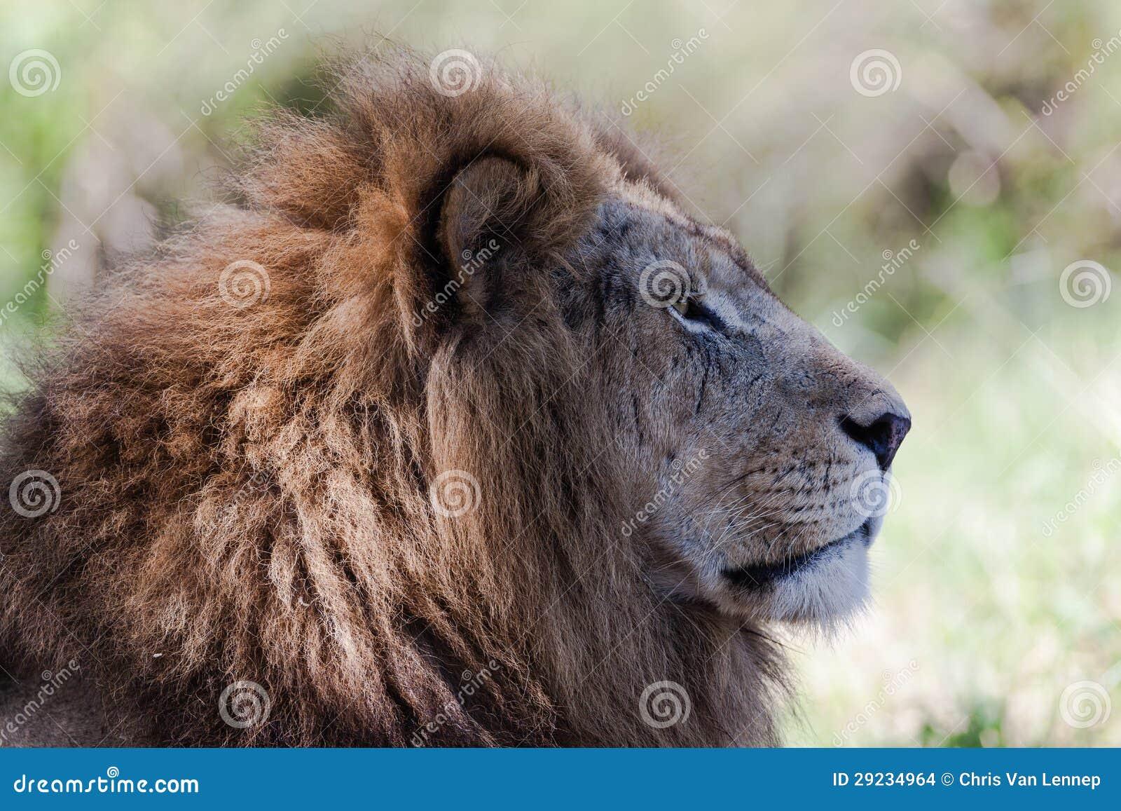 Download Rei Masculino Olhar Fixamente Do Leão Foto de Stock - Imagem de parques, retrato: 29234964