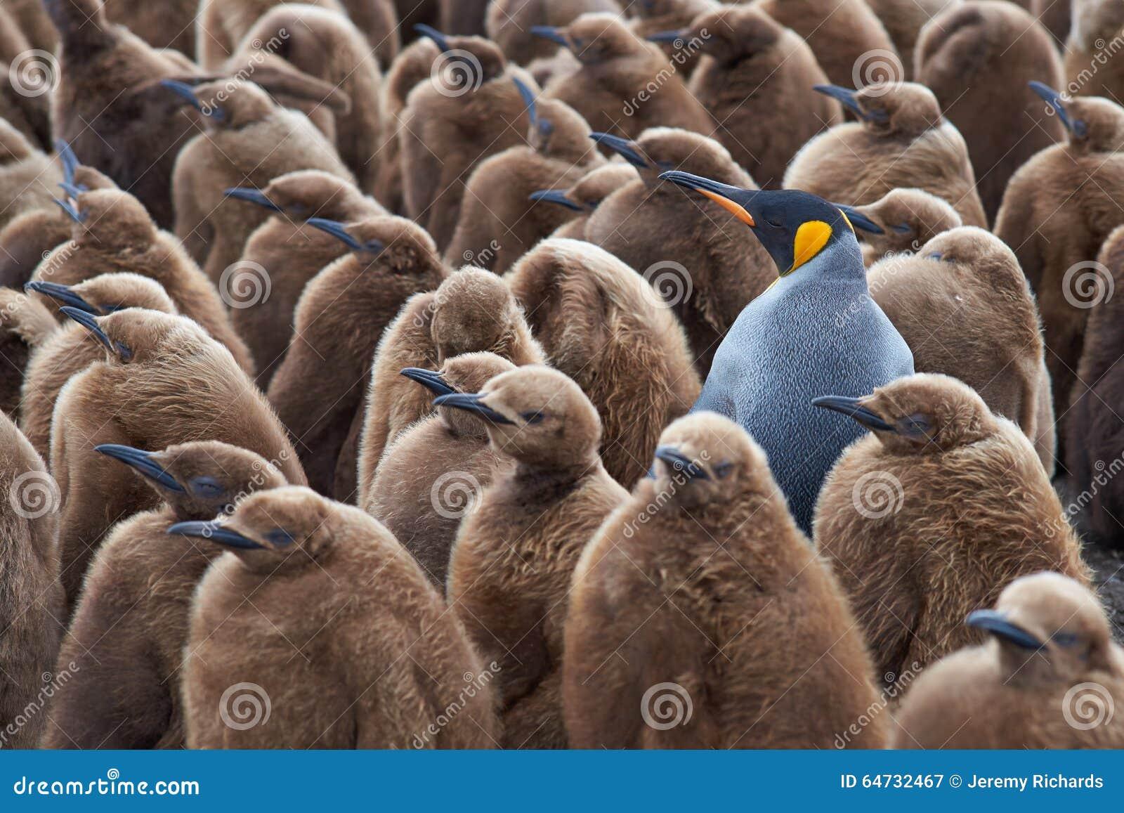 Rei Penguin Creche - Falkland Islands