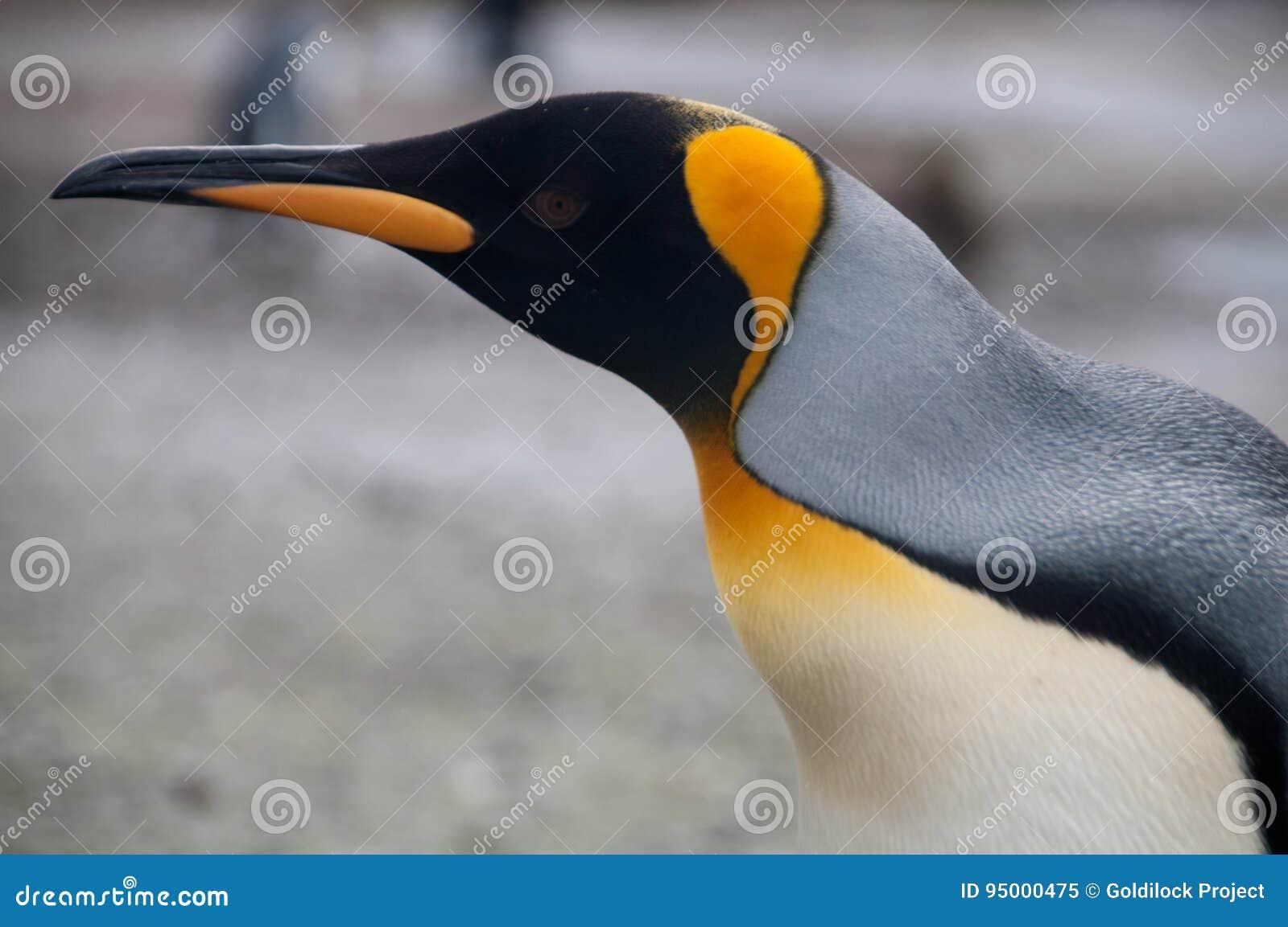 Rei Penguins em planícies de Salisbúria