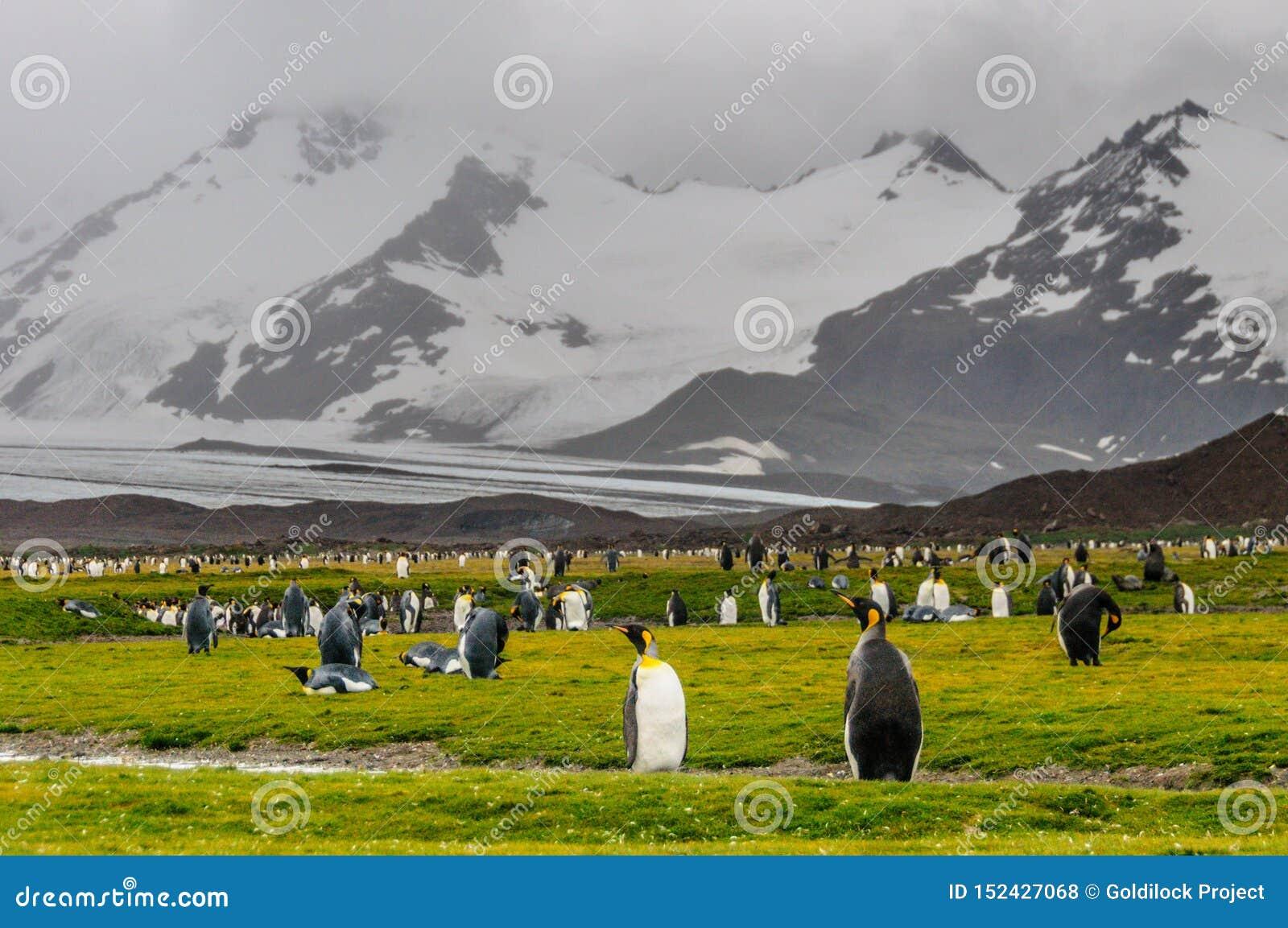 Rei Penguins em plan?cies de Salisb?ria