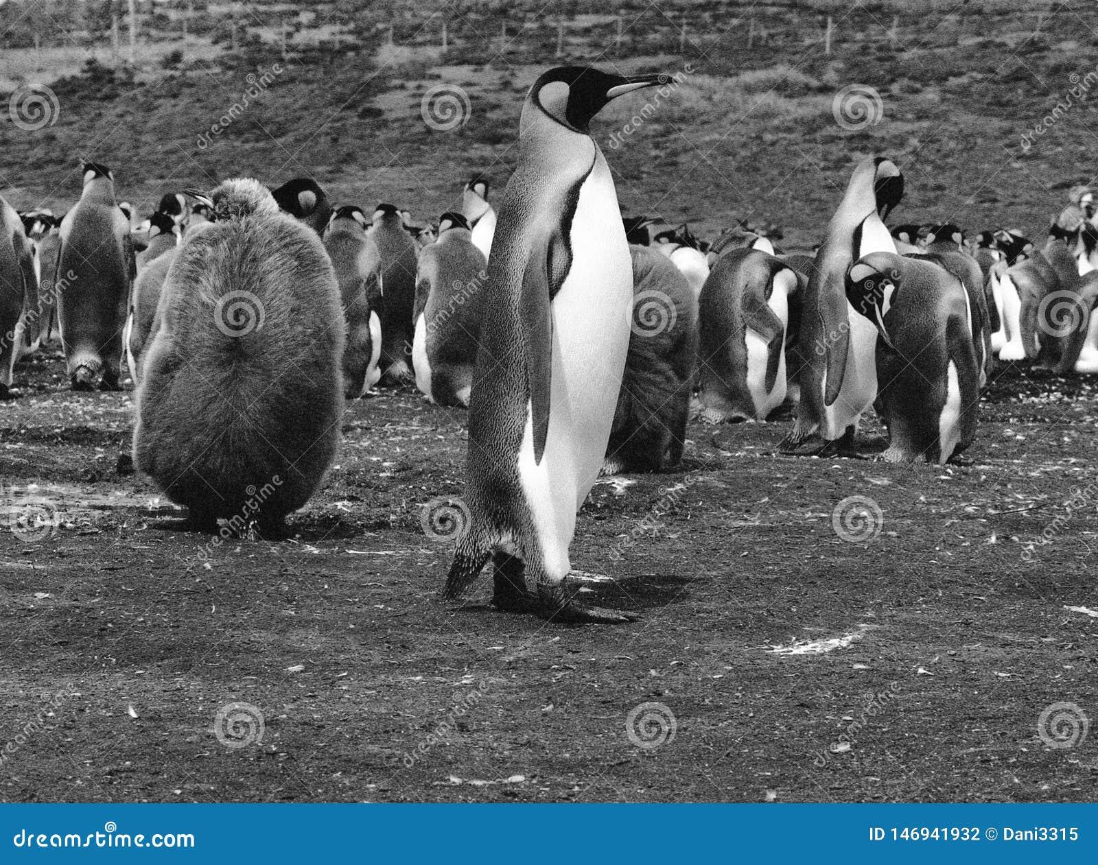 Rei Penguins no ponto voluntário, Falkland Islands Islas Malvinas