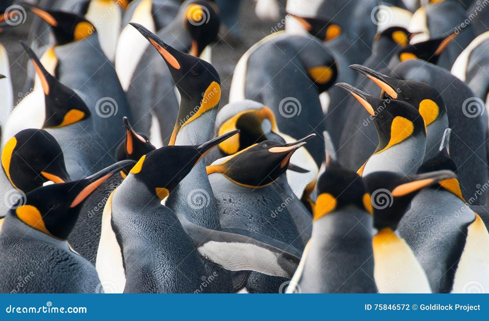 Rei Penguins no porto do ouro