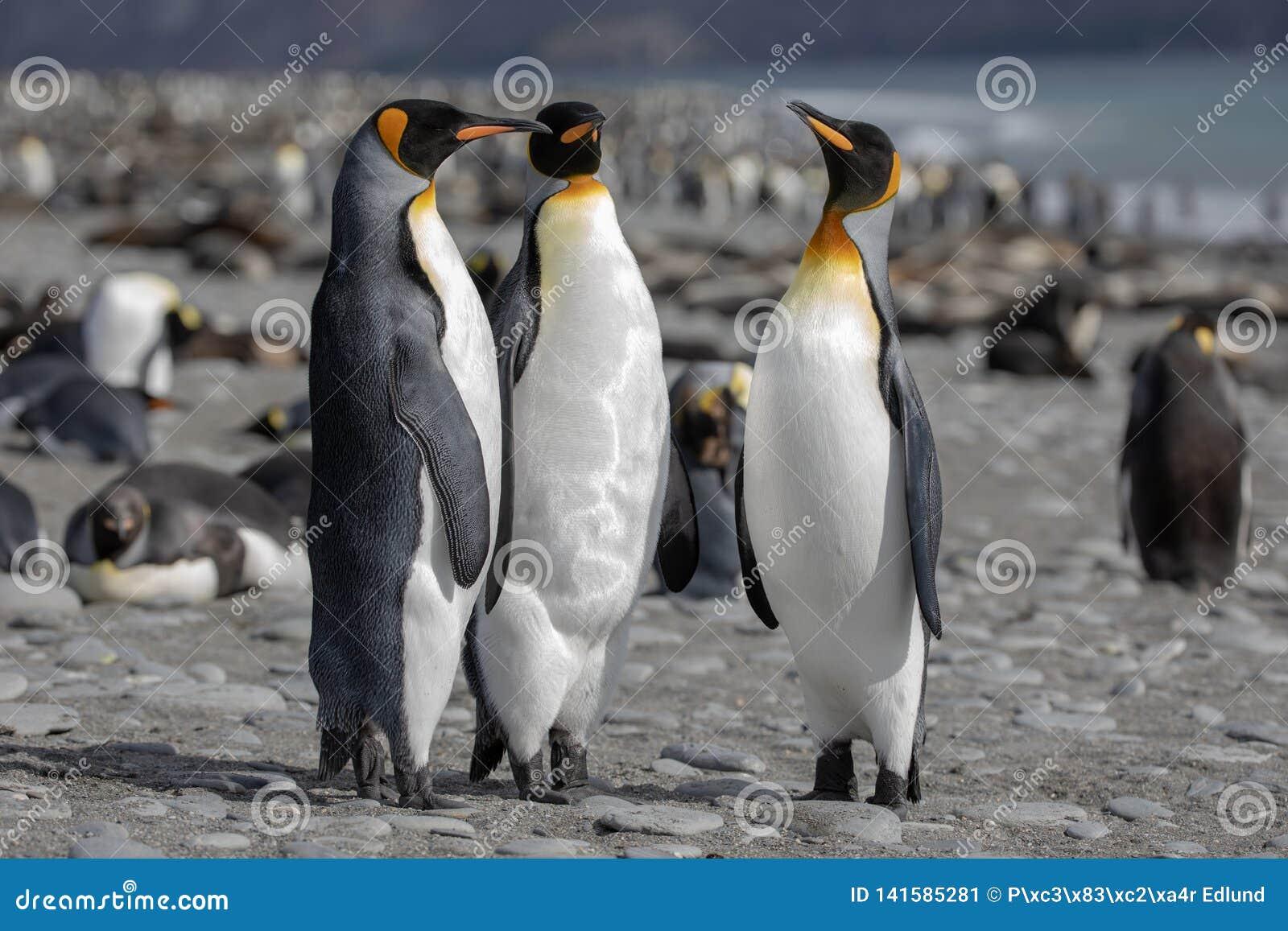 Rei pinguim Três pinguins de rei que socializam em uma praia