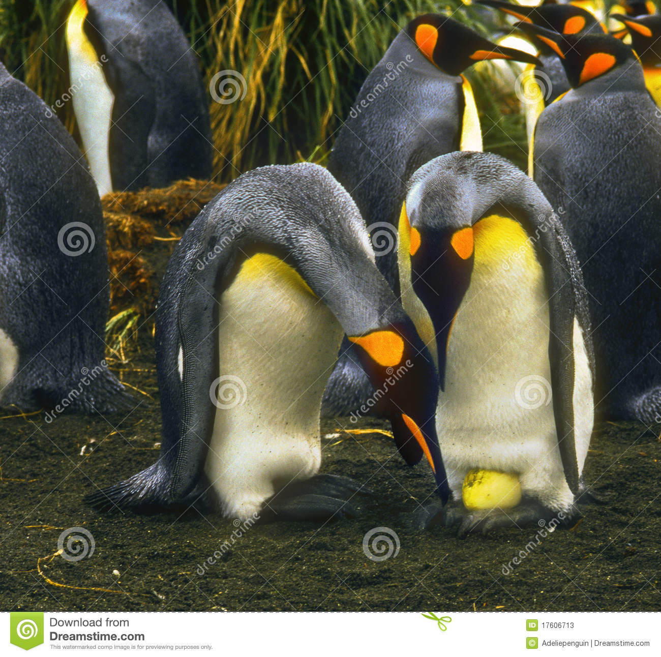 Rei pinguins com ovo